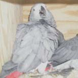 Princeps African Grey Parrot