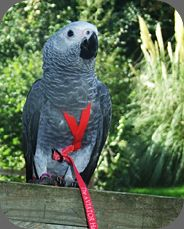 Jack The African Grey