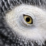 African Grey Eye