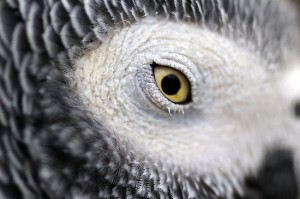 African Grey Eye Pinning