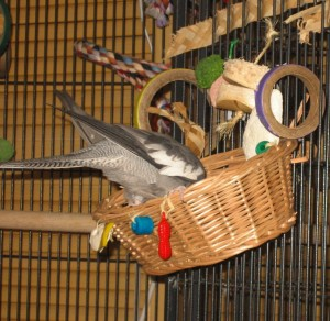 Cockatiel Playing In A Basket
