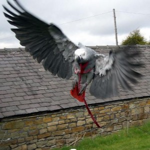 Grey Parrot In Harness Flying