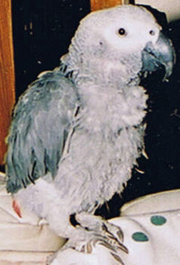Plucked Parrot
