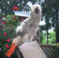 Rescue African Grey Parrot